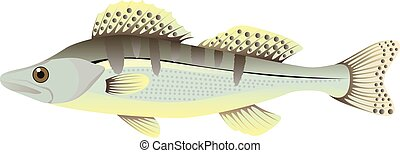 Zander fish cartoon vector illustration