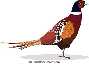 pheasant birdcartoon vector illustration