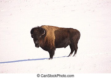 American Bison in snow covered field of Saskatchewan