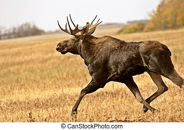 Young bull moose running in Saskatchewan field