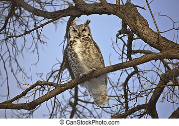 Great Horned Owl perrched on branch - Great Horned Owl...