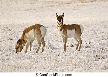 Two Pronghorn Antelopes in winter field