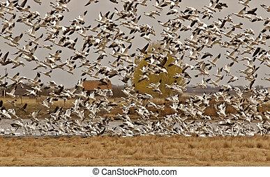 Snow Geese taking flight from Saskatchewan pond