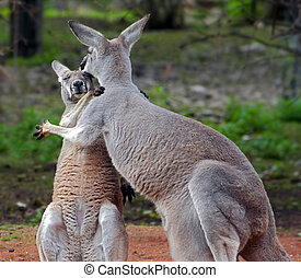 clinch - Shot of a two roos in embrance