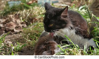The cat domestic pet lies on the grass licks the wool is...