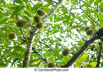 young durian - Little fresh young durian on the durain trees