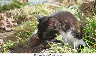 The cat domestic pet lies on grass licks the wool is washed...