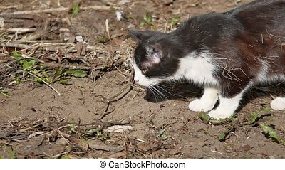 Cat black and white hunts for the nature - Cat black and...