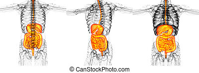 3D rendering medical illustration of the human digestive system