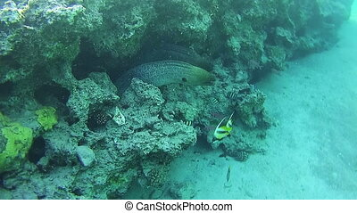 Two Big Morays on Coral Reef in Red Sea, Egypt - Two Big...