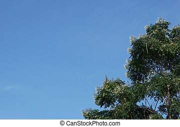 Millingtonia hortensis tree with the clear sky