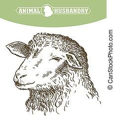 Head of a sheep. animal husbandry - sketch of sheep drawn by...