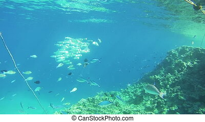 Flock of Tropical Fish on Coral Reefs Underwater in the Red...