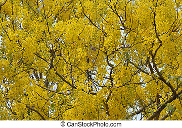 Purging Cassia national flower of Thailand