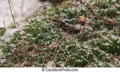 Green grass under the snow. - Close-up shot of green moss...