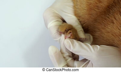 Veterinarian Inspects Cat Paw Close Up - Close up shot of a...