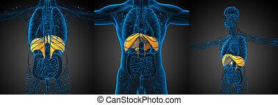 diafragma, interpretación, médico, Ilustración,  3D