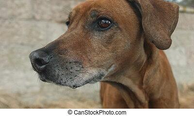 Portrait of big ginger dog - Big ginger dog looking around