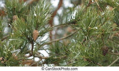 Pine Branch with Cones and Melting Snow in the Wind