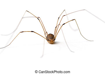 Daddy Long Legs Spider - Daddy Long Legs Opiliones or...