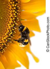 bumblebee, girassol