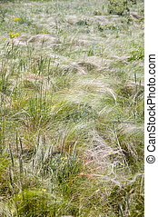 steppe feather - feather-year-old prairie grass