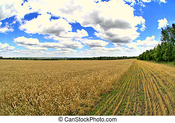 farm - wheat macro - collective field of wheat on a summer...