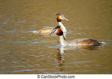 animal pair of wild birds Podiceps cristatus floating on...