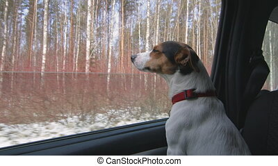 Dog stuck his head out the car window - Jack Russell Terrier...
