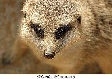 Closeup of suricata suricatta face - Suricata suricatta face...
