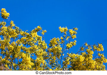 Mimosa flowers. Acacia Dealbata Mimosa. Mimosa Flowers on...