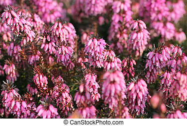 heather - close photo of beautiful pink blooming heather