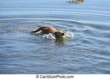 Swimming Toller Dog with a Ball in His Mouth