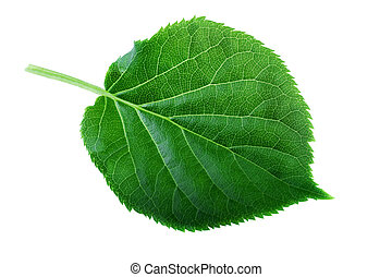 Green leaf isolated on white. Leaf structure and spring...