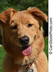 Happy Go Lucky Toller Puppy Dog in the Summer - Beautiful...