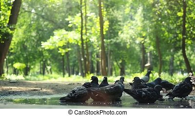Sunny day in the forest park . Doves are drink water in the...