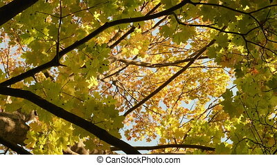 Colorful maple crown. Autumn daytime. Smooth dolly shot -...