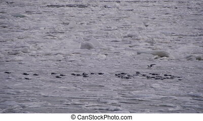 Seagulls on the Frozen Ice in the Sea