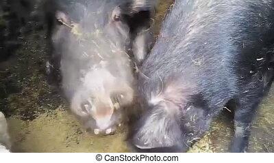 The wild boar eats the grain - Wild boar, pig eats grain,...