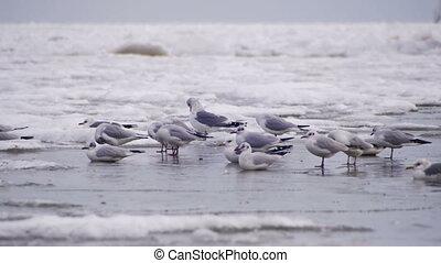 Seagulls Sitting on the Frozen Ice-Covered Sea - Seagulls on...