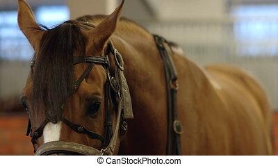Man carrying horses saddle. Putting saddle on horse. Man put...