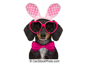 bunny easter ears dog - dachshund sausage dog with bunny...