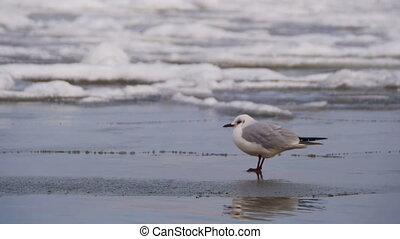 Seagull Sitting on the Frozen Ice-Covered Sea. Birds on...