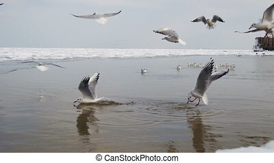 Seagulls Dive into the Water for Food. Flock of Hungry...
