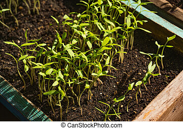 small green tomato seedling in a box