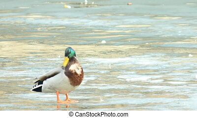 Proud drake on the verge of spring - The drake stands on the...