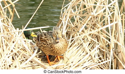 Duck in the reeds - The duck nests in the reeds