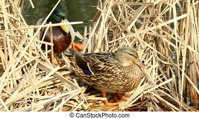 A couple of ducks on the nest