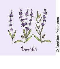 Collection of lavender flowers on a white background