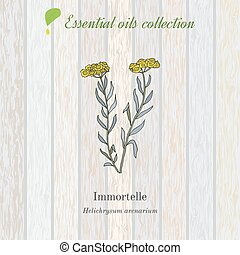 Helichrysum, essential oil label, aromatic plant. Vector...
